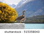 mother magellan goose with... | Shutterstock . vector #515358043
