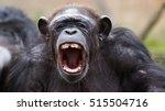 Angry Chimpanzee Yelling