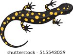 Black Spotted Salamander  ...