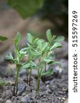 lentils growing | Shutterstock . vector #515597269