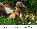 brown muscovy duck with little... | Shutterstock . vector #515627158