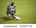 Stock photo playful bearded collie running on green grass short coat 515657176