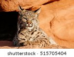 bobcat  lynx rufus  lying on... | Shutterstock . vector #515705404