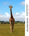 ������, ������: giraffe in savanna