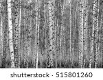 birch forest background  black... | Shutterstock . vector #515801260