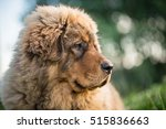 tibetan mastiff | Shutterstock . vector #515836663