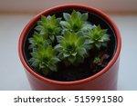 Aeonium Succulent
