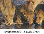 Group Of Lions Drinking At...