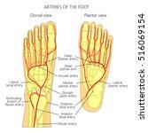 arteries of the foot  dorsal... | Shutterstock .eps vector #516069154