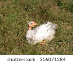 Small photo of White chick in the grass acquainted with the world ..