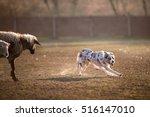Herding Border Collie