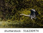grey heron taking off to catch... | Shutterstock . vector #516230974