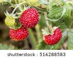 Wild Strawberry Plant With...