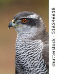 Small photo of Accipiter gentilis
