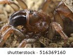 Small photo of Trapdoor spider (Nemesiidae) view from above macro, fangs. Liguria. Italy.