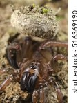 Small photo of Trapdoor spider (Nemesiidae) vertical portrait outside its trap. Liguria. Italy.