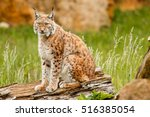 lynx at liberty. grass and... | Shutterstock . vector #516385054
