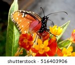 Queen Butterfly On Orange...
