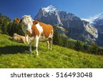 Swiss Cows Relax In An Alpine...
