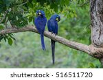 Wild Hyacinth Macaws   A...