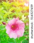 purple allamanda allamanda... | Shutterstock . vector #516527659