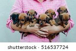 Stock photo  dachshund puppy dachshund puppy portrait outdoors many cute dachshund puppy playing outdoor 516537724