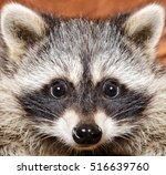 Portrait Of A Funny Raccoon ...