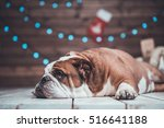 Cute English Bulldog Lying Une...