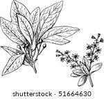 plant sassafras