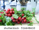 radishes being washed on... | Shutterstock . vector #516648610