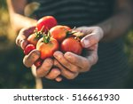 Farmer Holding Fresh Tomatoes...
