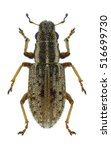 Small photo of Beetle Sitona macularius on a white background