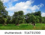 Beautiful Olive Trees And...