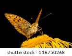 Small photo of Close-up photo of butterfly Mesoacidalia Aglaia which drinks nectar from a flower