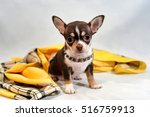 Stock photo cute brown short hair chihuahua puppy and shawl on white background 516759913