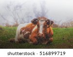 cow in the rain   laying down... | Shutterstock . vector #516899719