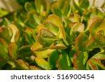 succulent plants. succulents... | Shutterstock . vector #516900454