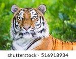 portrait of a siberian tiger ... | Shutterstock . vector #516918934