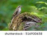 eurasian treecreeper in a mossy ... | Shutterstock . vector #516930658