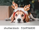 Stock photo beautiful beagle dog posing as a reindeer sits near a christmas tree 516956830