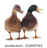 Large Wild Ducks On A White...