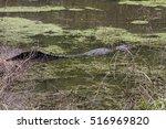 Small photo of Louisiana Bayou Alligator mississippiensis / Louisiana Bayou Alligator mississippiensis / Louisiana Bayou Alligator mississippiensis /