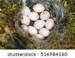 Parus Major. The Nest Of The...