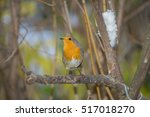 closeup of robin on a tree.... | Shutterstock . vector #517018270