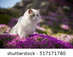 A Ragdoll Cat Walks Through A...