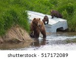 brown bear on the shore of... | Shutterstock . vector #517172089