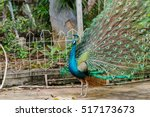 peacock. close up of peacock... | Shutterstock . vector #517173673