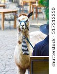 Small photo of Alpaca stay in park and alpaca eating grass.