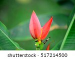 Flowering Banana  Musa Ornata...