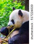 Small photo of Giant panda bear (Ailuropoda melanoleuca) eating bamboo